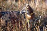 zorro-gris-de-california